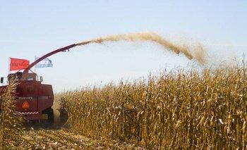 Los productores de maíz aumentaron 73,7% sus ganancias en dólares  | Retenciones