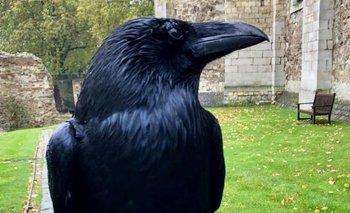 Por qué la desaparición de un cuervo es la peor noticia para Reino Unido | Reino unido