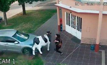 Una vaca de plástico salvó a una mujer de ser atropellada | Accidente de tránsito