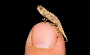 El camaleón más pequeño de mundo sorprende por sus enormes genitales | Ciencia