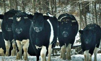 El extraño comportamiento de las vacas en la zona de Chernobyl   Fenómenos naturales