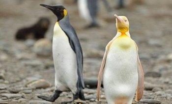 Fotografían por primera vez un pingüino amarillo en el Atlántico Sur | Naturaleza