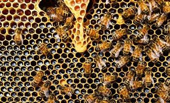 Video impactante: así es la vida de las abejas dentro de la colmena | Fenómenos naturales
