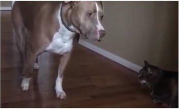 VIRAL: el pitbull aterrorizado por un gatito | Bananas