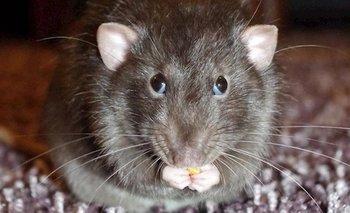 Coronavirus: ¿Por qué la pandemia altera a las ratas? | Pandemia