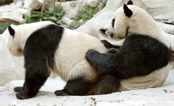 Una pareja de pandas volvió a tener sexo después de 10 años | Pandemia