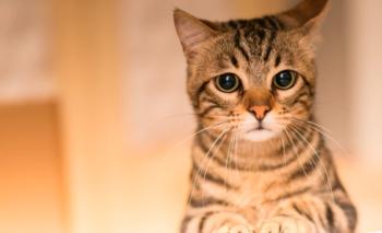 Descubren los primeros casos de contagio en gatos domésticos   Pandemia