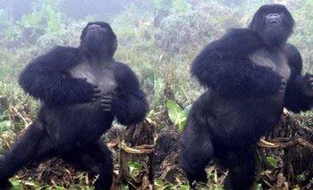 Científicos descubren cómo es el lenguaje de los gorilas de montaña | Naturaleza