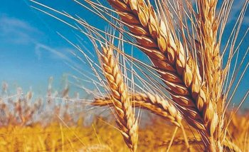 Esperan una cosecha récord de trigo | Campo