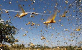 Invasión de langostas: alerta por la plaga que llegó al país   Video viral