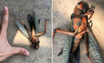 Encontró un insecto aterrador y generó pánico en redes   En redes