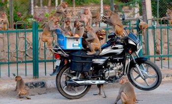 Insólito: monos se robaron muestras de sangre con COVID-19 | Pandemia
