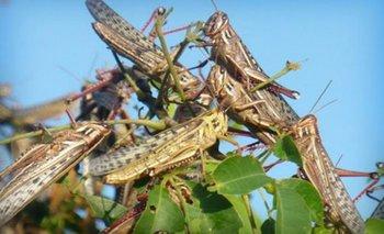 Estremecedor video de invasión de langostas en Formosa | Fenómenos naturales