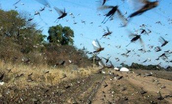 Preocupación por plaga de langostas en la Patagonia   Fenómenos naturales