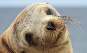 Un lobo marino se subió a un auto y fue furor en redes   En redes