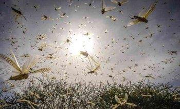 Alerta por una invasión de langostas | Campo