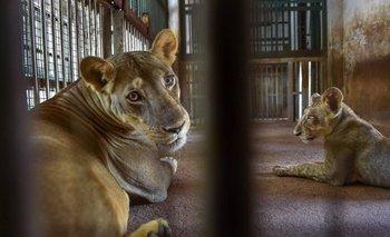 Alerta: murió un león por coronavirus en un zoológico  | Coronavirus