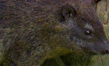 Los ladridos delatan a una nueva especie de mamífero en África   Animales