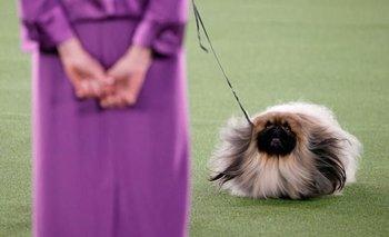 Wasabi: el perro que ganó el famoso concurso canino de Nueva York | Mascotas