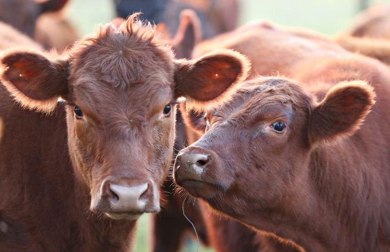 El stock bovino alcanzará las 53,5 millones de cabezas para fin de año   Campo