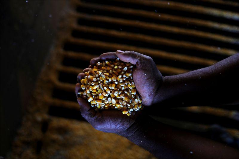 El frío polar llegó a Brasil y dañó cosechas de maíz y café | Granos