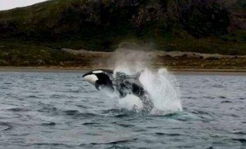 Video: orcas llegaron a la costa argentina | Animales