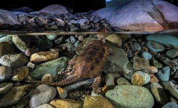 Encontraron una tortuga con pico y cola de cocodrilo | Fenómenos naturales