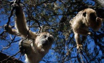 Una banda de monos aulladores sorprendió a La Plata | Fenómenos naturales