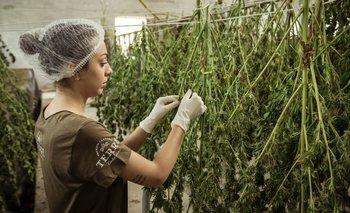 Cannabis legal: ¿una medicina contra el narco? | Salud pública