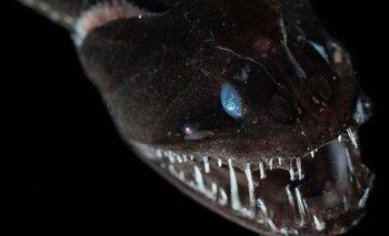 Impactante: los peces ultranegros capaces de hacerse invisibles | Animales