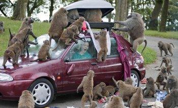 Terror por una manada de monos armados con cuchillos | Inglaterra