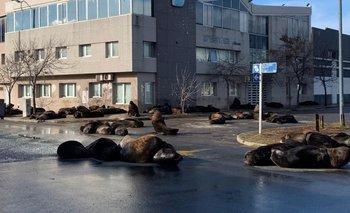 Invasión de lobos marinos en las calles de Mar del Plata | Mar del plata