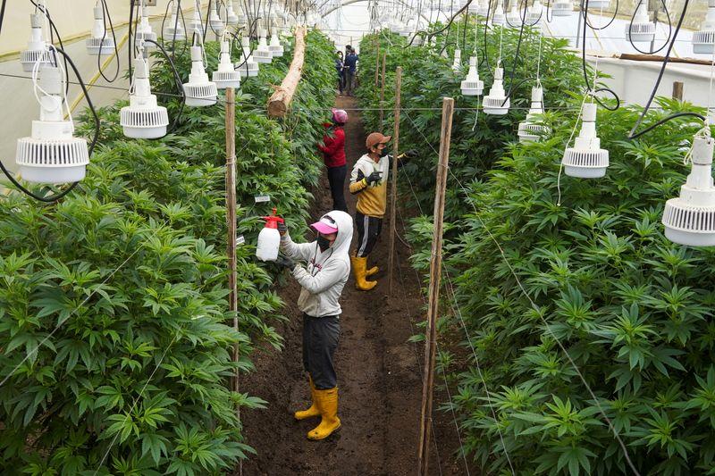 Cultivan cannabis en vez de rosas por la disminución de las ventas durante la pandemia   Ecuador