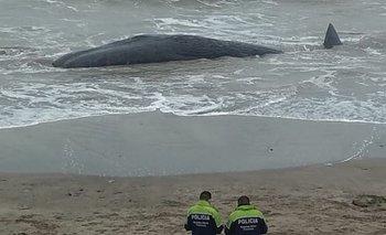 Impactante: cachalote gigante murió en la costa de Santa Clara | Fenómenos naturales