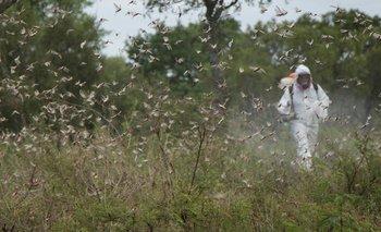 La plaga de langostas en el Norte de Argentina no da tregua | Medio ambiente