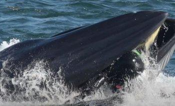 Impactante video: ballena se tragó un buzo y lo escupió   Fenómenos naturales