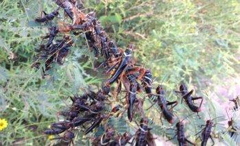 Alerta del Senasa en todo el país por una peligrosa plaga | Fenómenos naturales