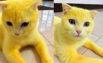 El insólito motivo por el que un gato quedó amarillo   Animales