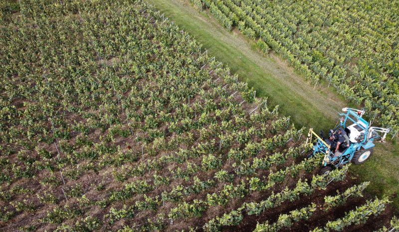 La producción de vino en Francia en su mínimo histórico   Francia