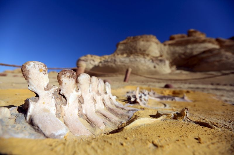 Encuentran en Egipto el fósil de una ballena de cuatro patas desconocida | Arqueología