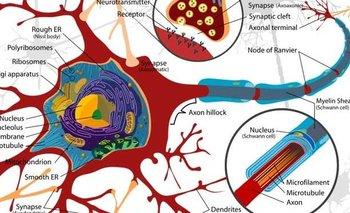 Qué es la mielitis transversa, trastorno que frenó la vacuna de Oxford | Vacuna del coronavirus