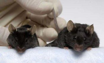 Un ratón hipermusculoso puede ayudarnos a viajar a otros planetas   Animales