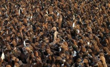 Una invasión de patos podría salvar la cosecha en Tailandia | Fenómenos naturales
