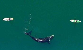 El calentamiento del océano afecta la supervivencia de la ballena franca austral | Cambio climático
