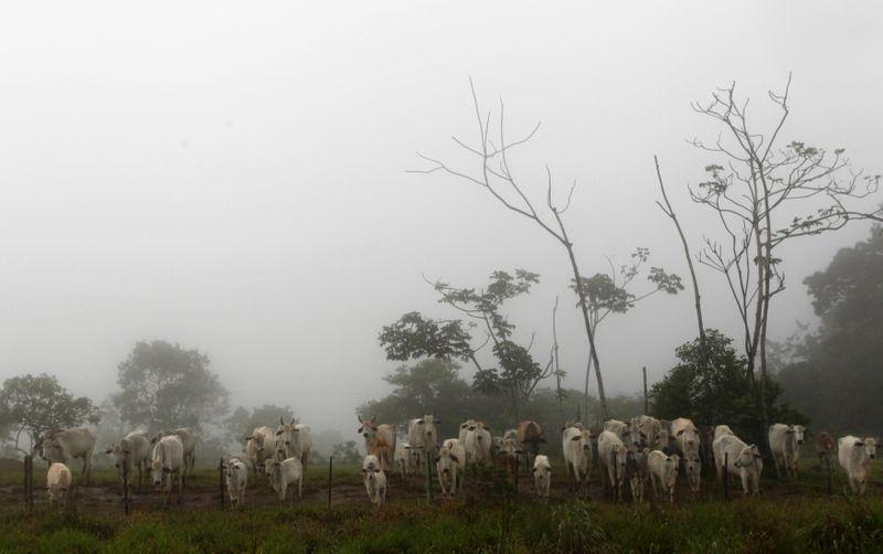 Brasil confirma dos casos de fiebre de vaca loca y cierra exportaciones   Carne