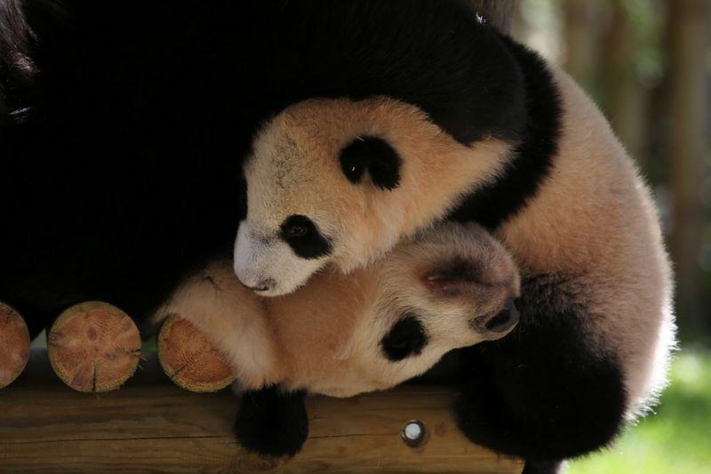 Nacen dos pandas gigantes en el Zoo de Madrid   Animales