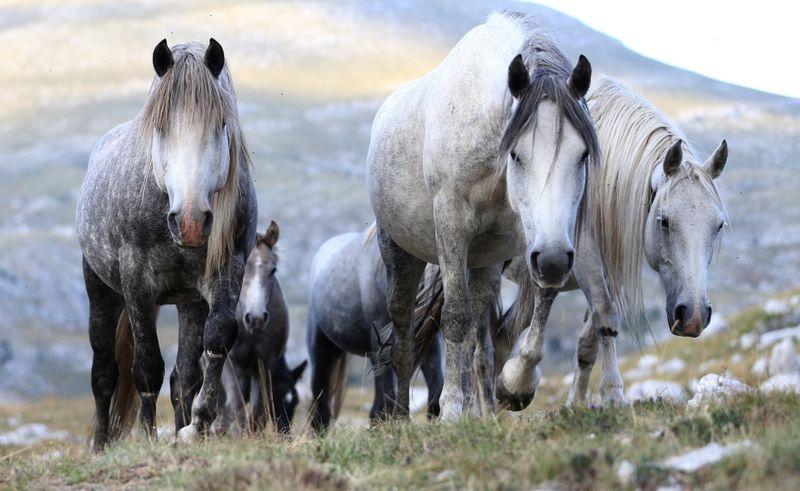 """Agricultores preocupados por la """"plaga"""" de caballos salvajes   Animales"""