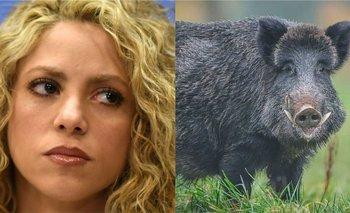 Shakira fue atacada por dos jabalíes en Barcelona   Farándula