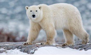 La extinción de los osos polares es casi irreversible | Animales