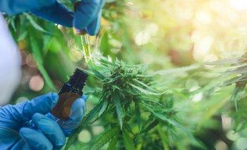 Cannabis Medicinal: nuevo proyecto de ley con enfoque integral y productivo | Salud